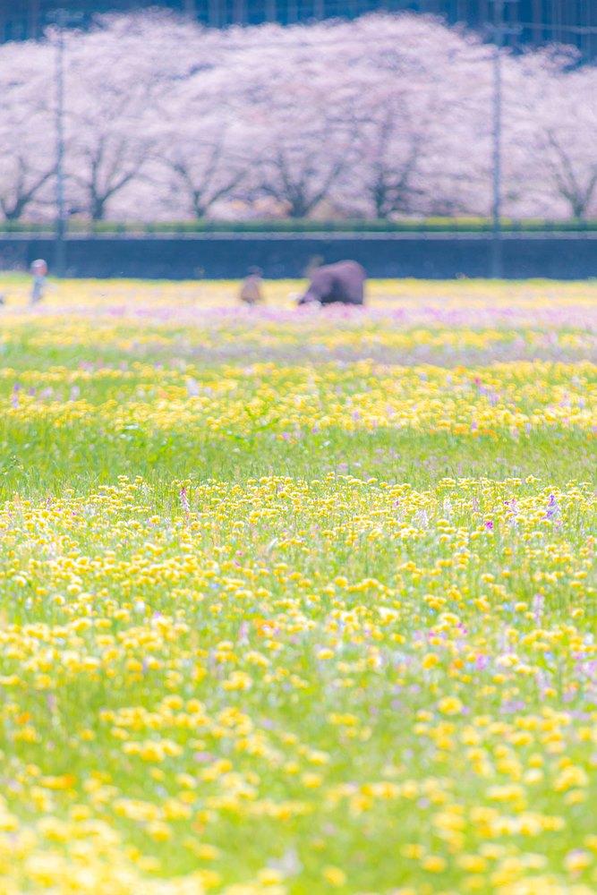 【開花状況】田んぼをつかった花畑