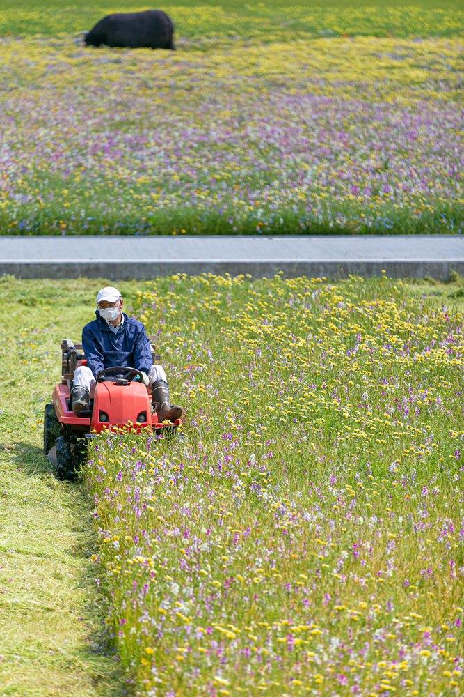 感染症拡大防止による田んぼをつかった花畑撤収