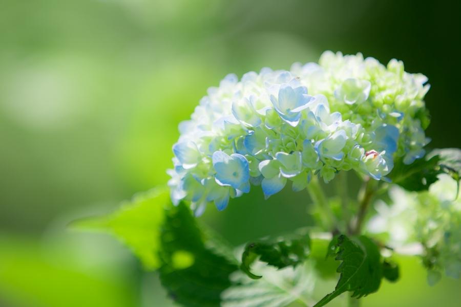 【紫陽花】那賀川沿いにはたくさんのアジサイが咲きます。