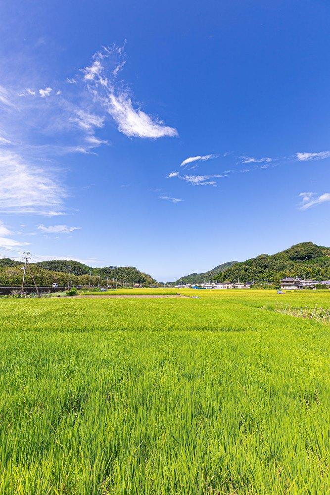 稲が実り始めました【那賀バイパス沿い】
