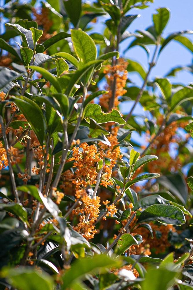 【旧依田邸】キンモクセイの秋の香り