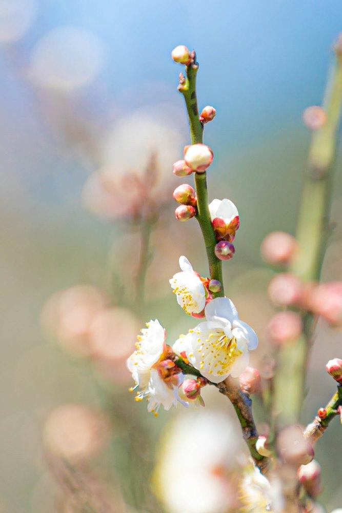 【牛原山】梅の花が綻びはじめました。