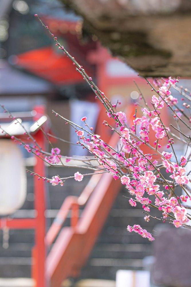 【伊那下神社】梅の花がきれいです。