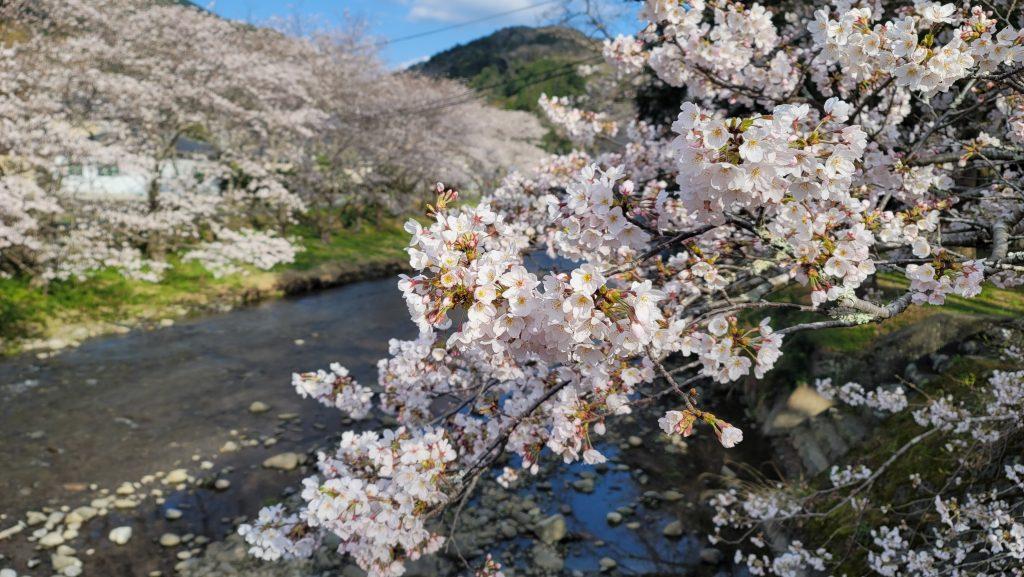 【令和3年3月23日】那賀川沿いの桜並木(開花状況)