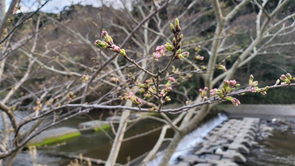 【令和3年3月17日】那賀川沿いの桜並木(開花状況)
