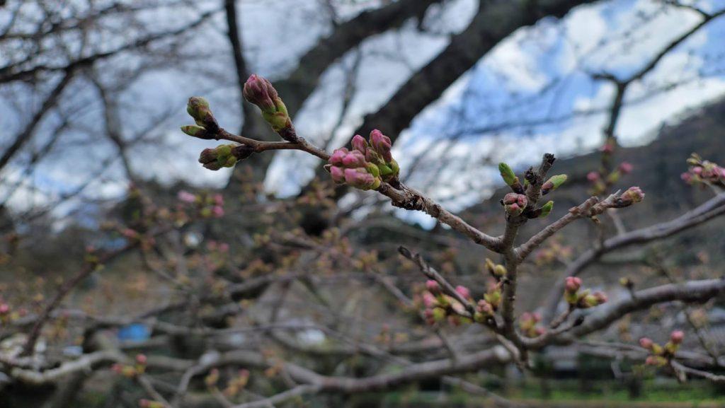 【令和3年3月18日】那賀川沿いの桜並木(開花状況)