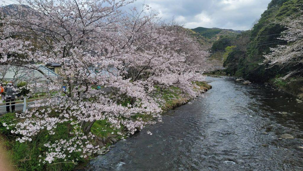 【令和3年3月22日】大沢温泉の桜(開花状況)