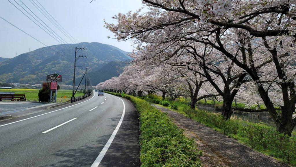 【令和3年3月30日】那賀川沿いの桜並木(開花状況)