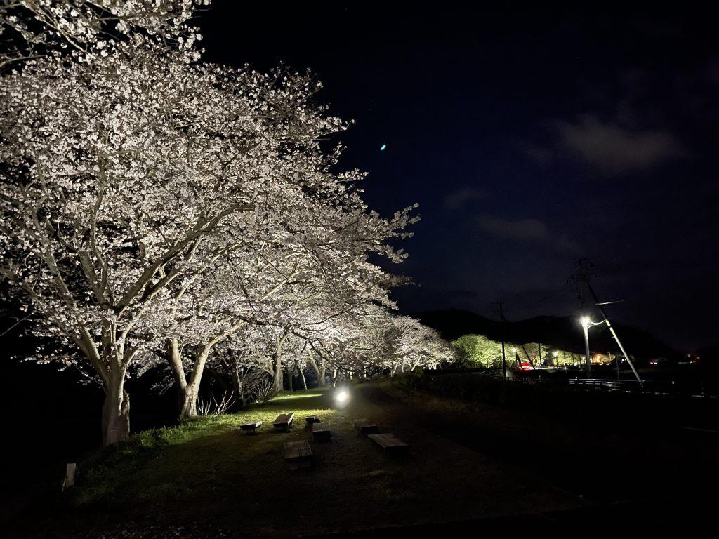 那賀川沿いの桜並木 ライトアップされています。