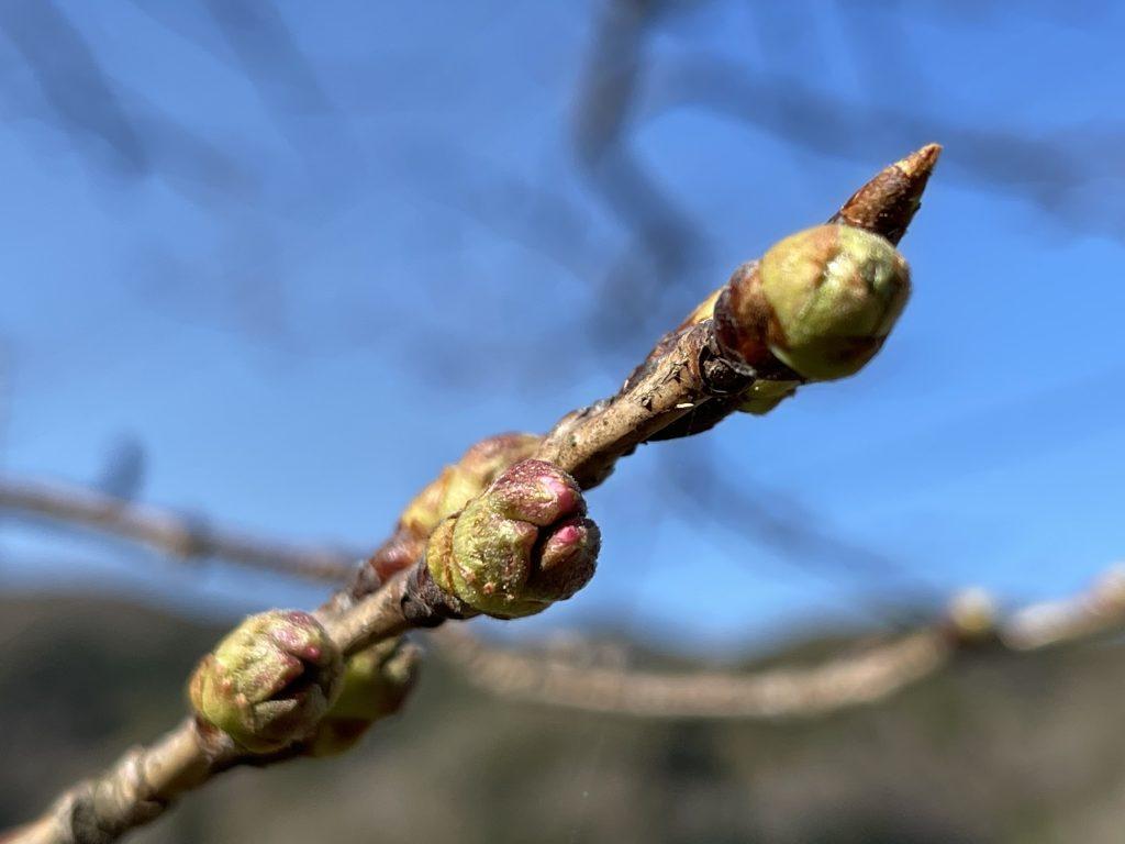 【令和3年3月15日】那賀川沿いの桜並木(開花状況)