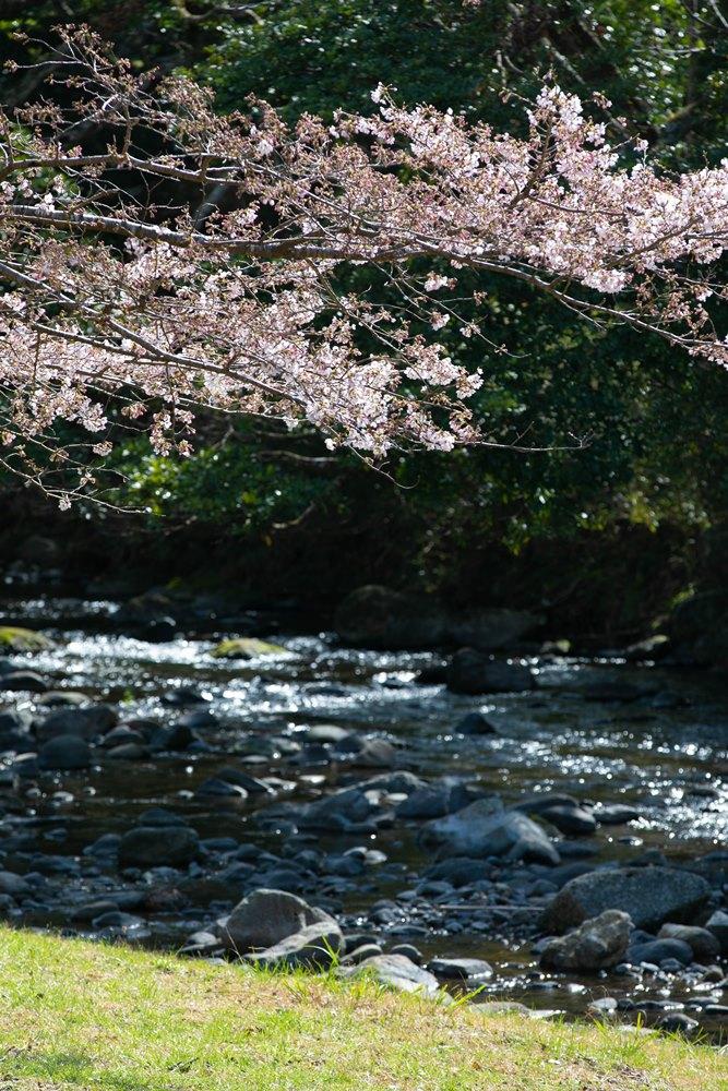 【松崎の桜】大沢温泉開花状況