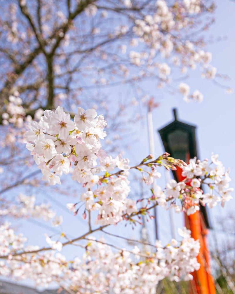 【松崎の桜】伊那下神社