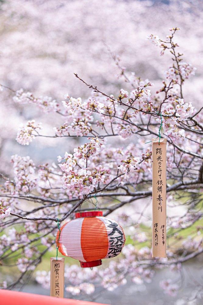 【桜開花状況】大沢温泉