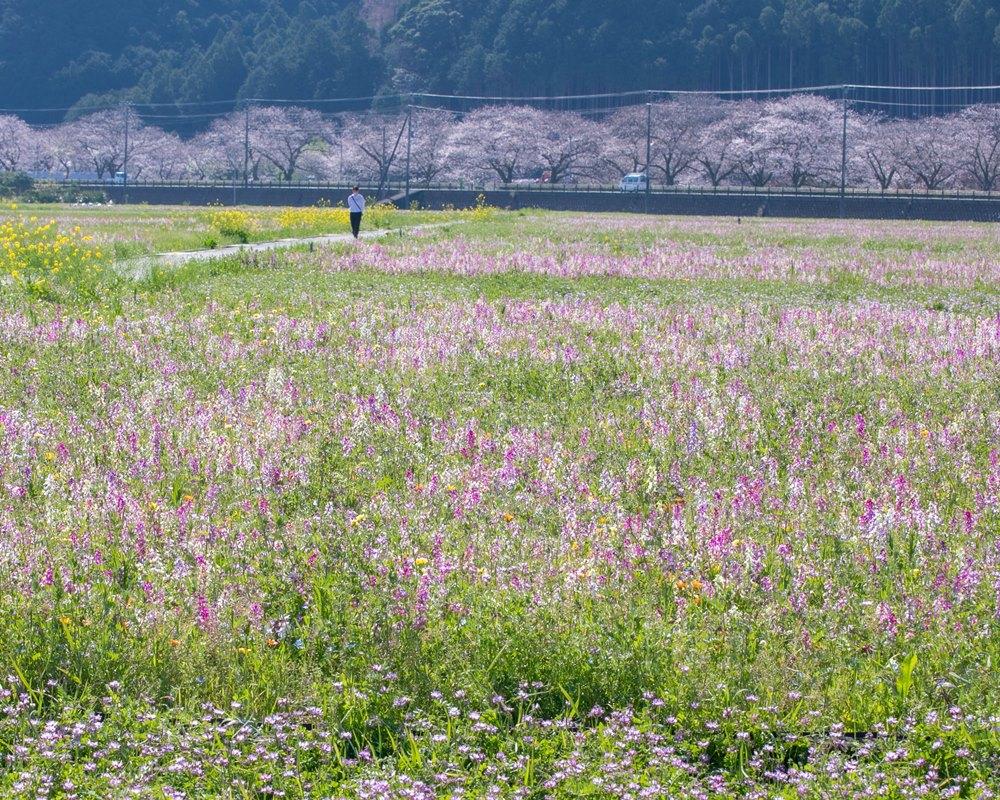 【桜開花状況】那賀バイパス沿いの桜並木