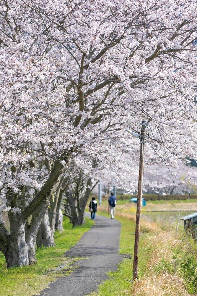 【桜開花状況】那賀川沿いの桜