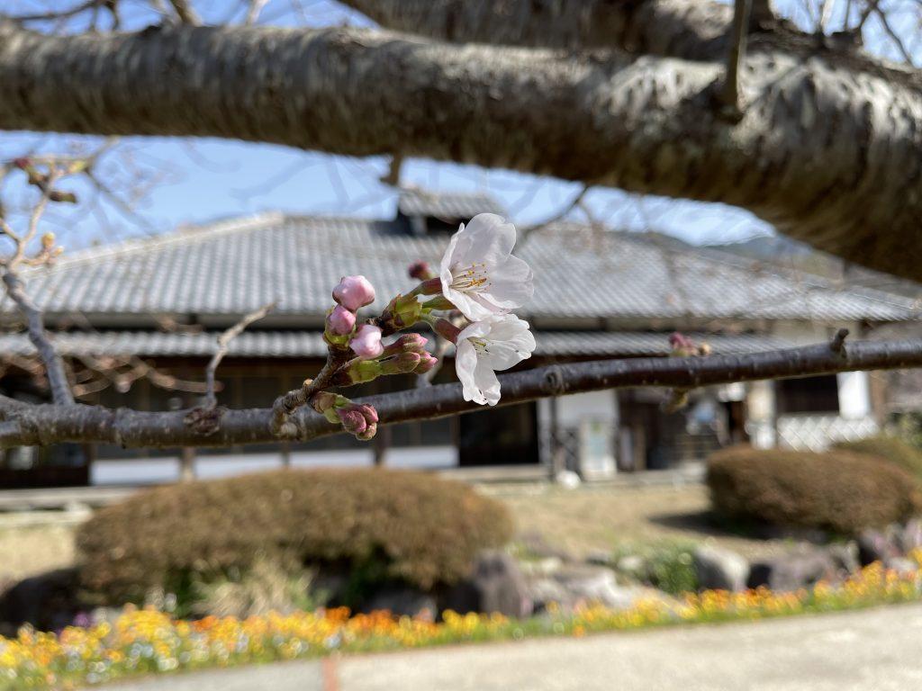 【令和3年3月19日】大沢温泉の桜(開花状況)