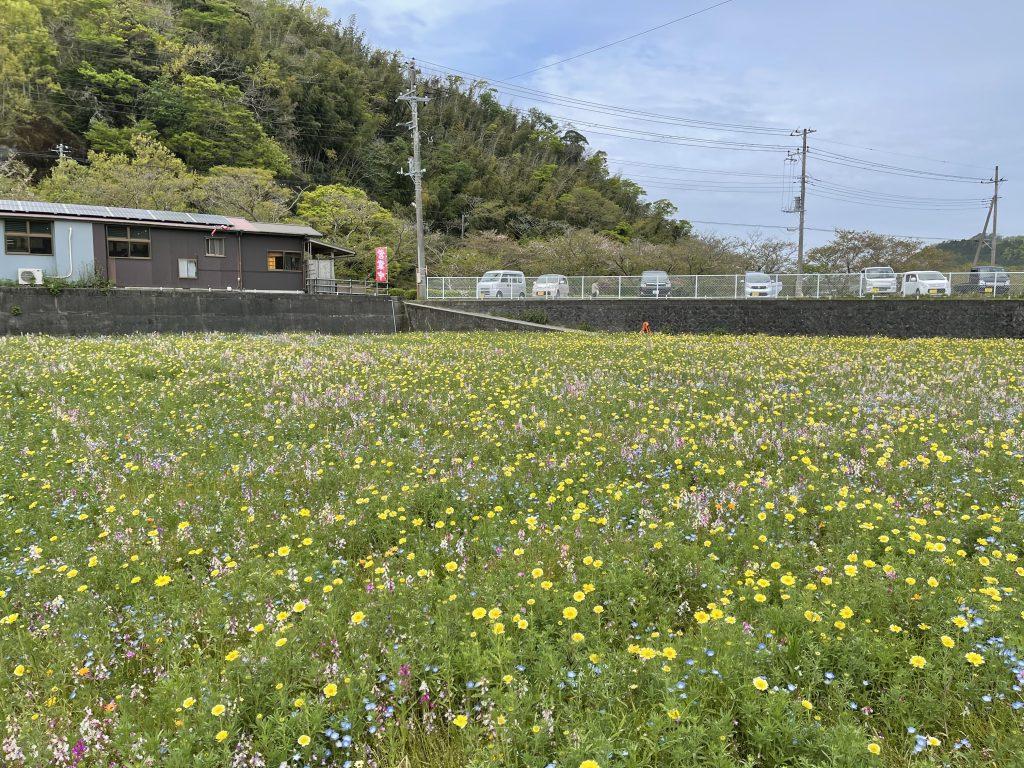 【令和3年4月4日】田んぼをつかった花畑(開花状況)