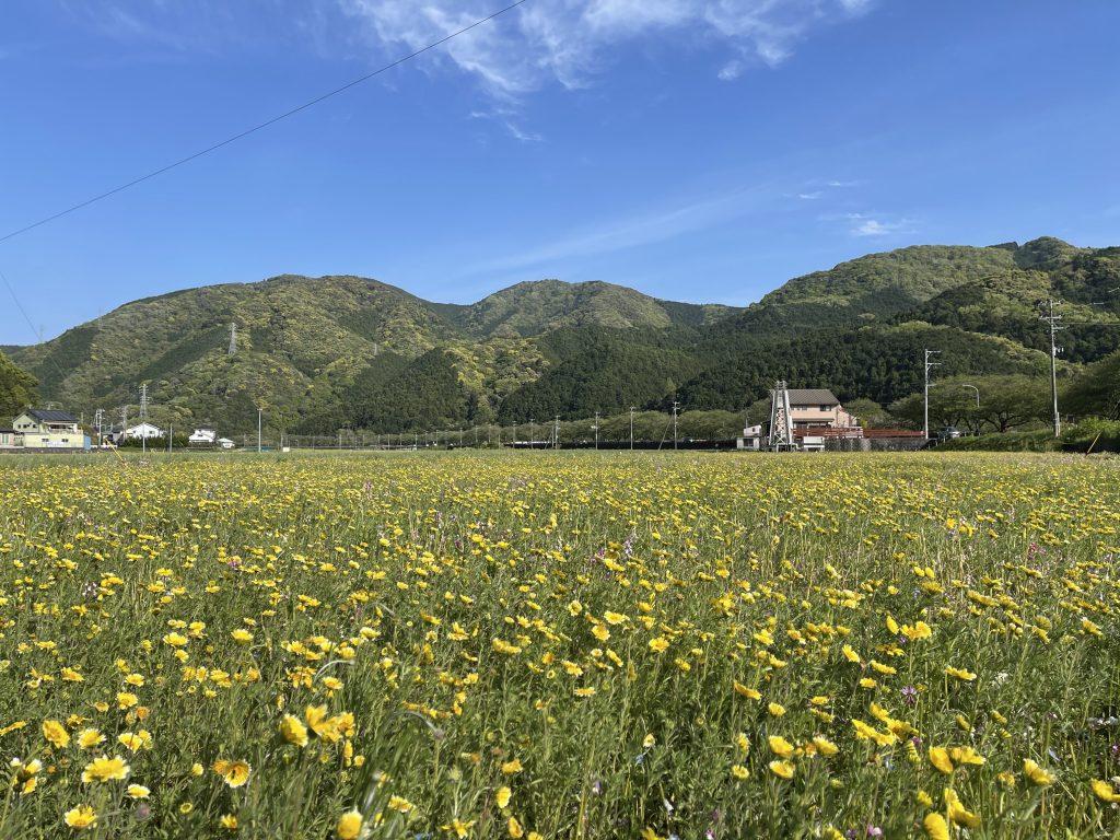 【令和3年4月14日】田んぼをつかった花畑(開花状況)