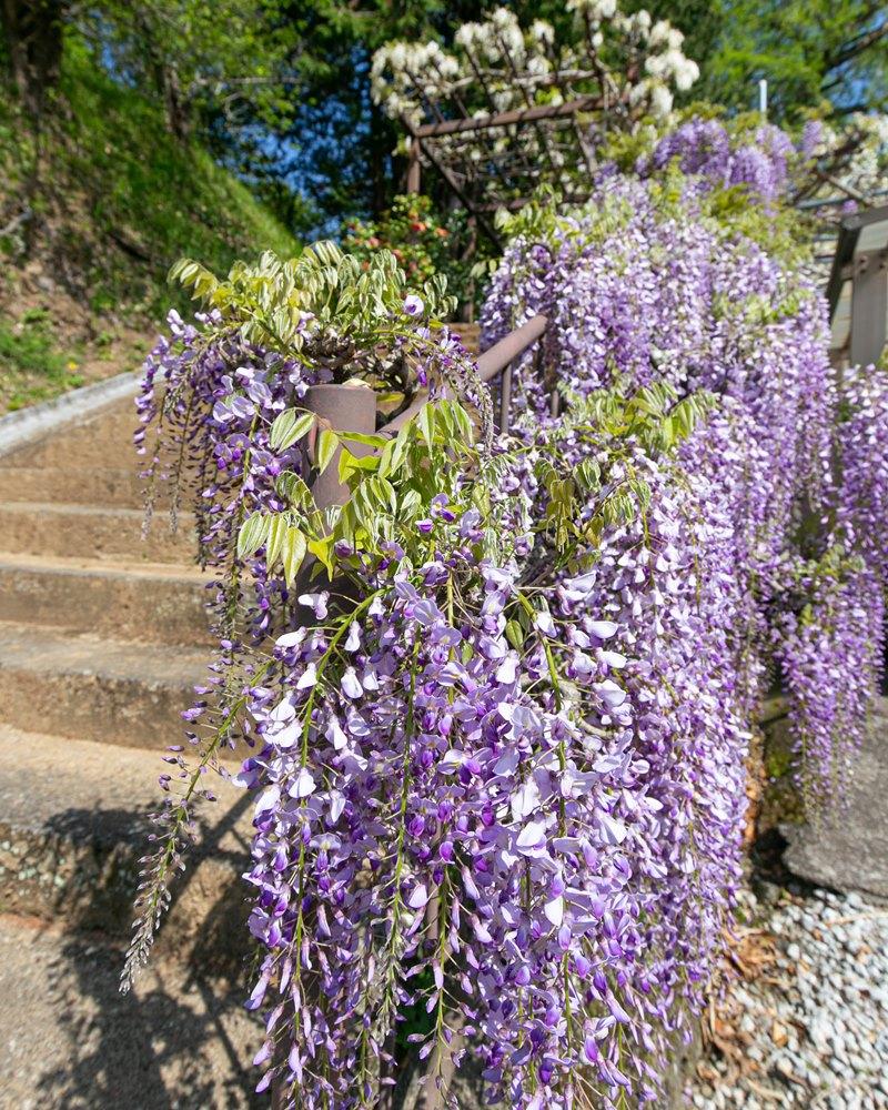 藤の花…今年は早い開花ですね~