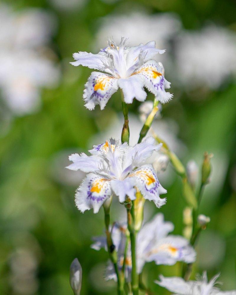 春の花の彩り【シャガ】