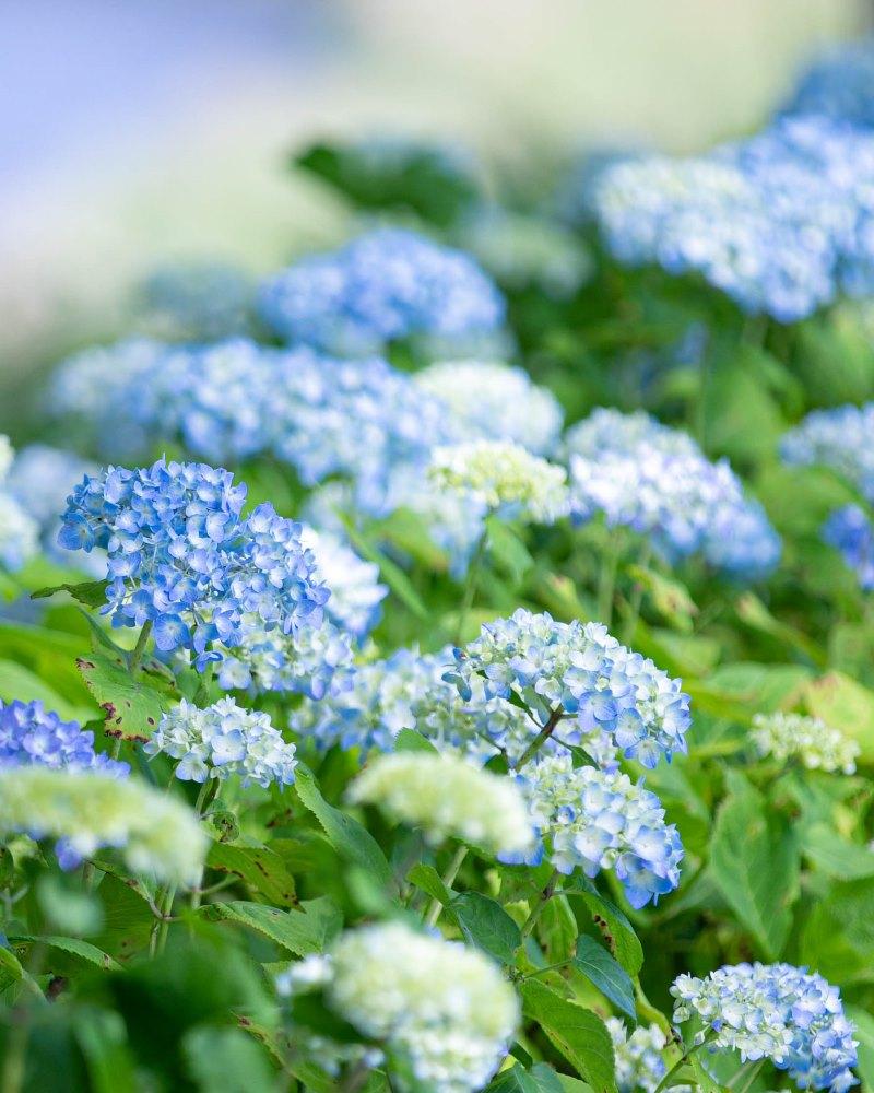 【那賀バイパス沿い】アジサイが咲き始めました。