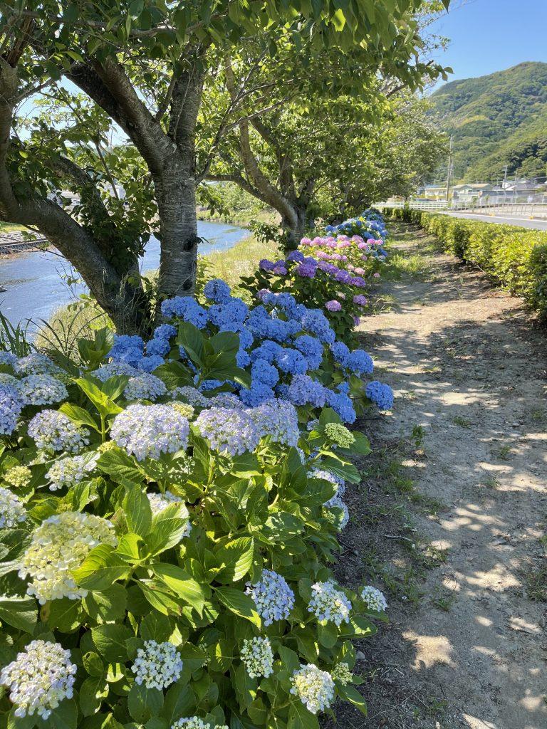 那賀バイパス沿いの紫陽花(あじさい)