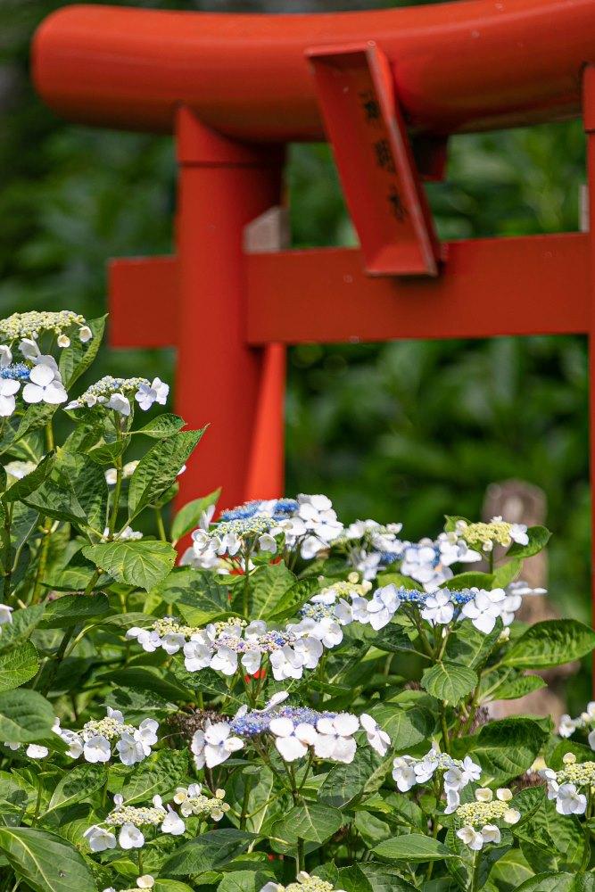 【伊那下神社】アジサイが咲き始めました。