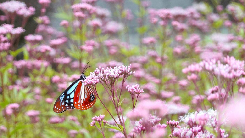 渡り「蝶」アサギマダラ飛来