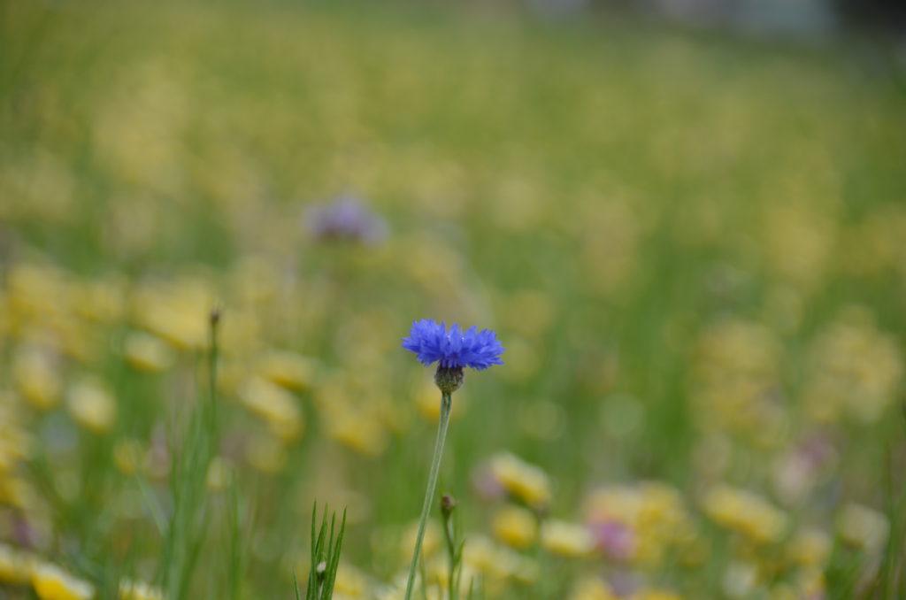 田んぼをつかった花畑の開花情報です。