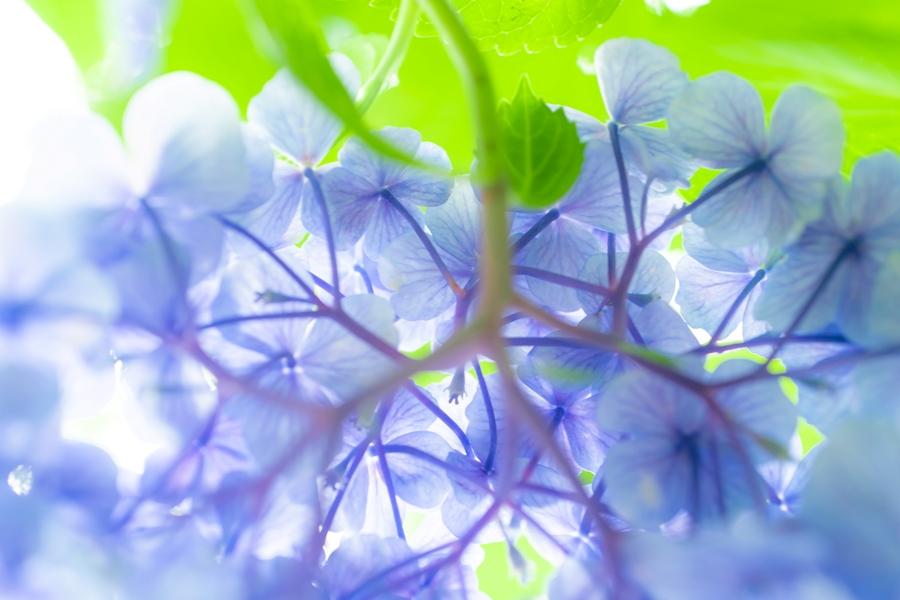 【那賀川沿いのアジサイ】花いっぱい見頃です♪